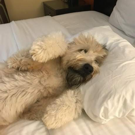Long-haired dog laying in a bed with his head on a pillow